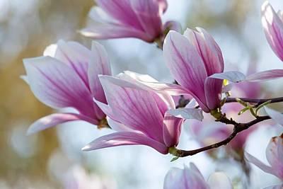 Photograph - Magnolia Flowers by Lynn Hopwood