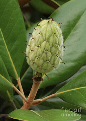 Photograph - Magnolia Fruit Closeup by Carol Groenen