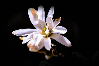 Photograph - Magnolia #g3 by Leif Sohlman