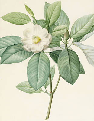 White Flower Drawing - Magnolia Glauca by Pierre Joseph Redoute