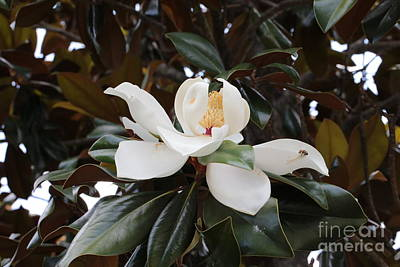 Sunlight On Flowers Photograph - Magnolia Grandiflora With Leaves by Carol Groenen