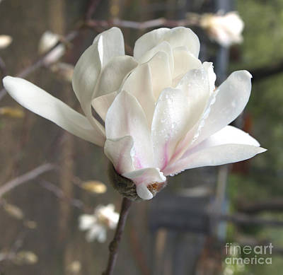Photograph - Magnolia by Haleh Mahbod