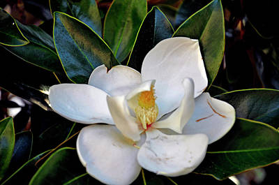 Photograph - Magnolia by Helen Haw
