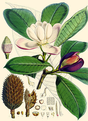 Floral Drawing - Magnolia Hodgsonii by Joseph Dalton Hooker