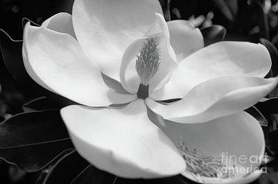 Photograph - Magnolia In Black And White by John S