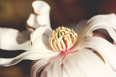 Photograph - Magnolia In Bloom by Trina Ansel