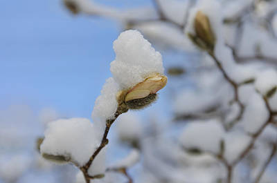 Photograph - Magnolia In Snow I by Marianne Campolongo