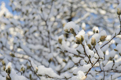 Photograph - Magnolia In Snow II by Marianne Campolongo