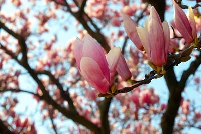 Photograph - Magnolia In Spring by Michelle Calkins