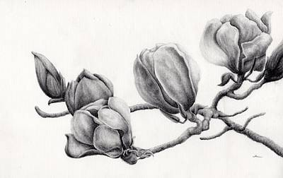 Magnolia Flower Drawing - Magnolia by Ina Digby
