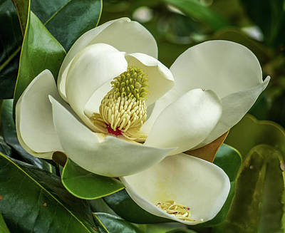 Photograph - Magnolia by Jane Luxton
