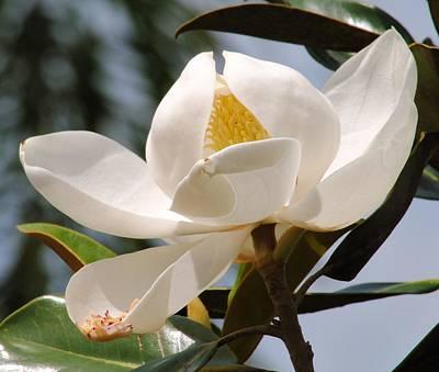 Photograph - Magnolia by John Hintz