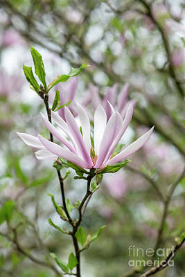 Photograph - Magnolia Judy by Tim Gainey