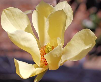 Photograph - Magnolia by Katherine White