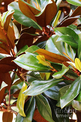Photograph - Magnolia Leaves by Carol Groenen