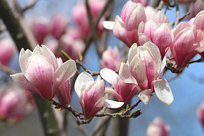 Photograph - Magnolia Madness by Living Color Photography Lorraine Lynch