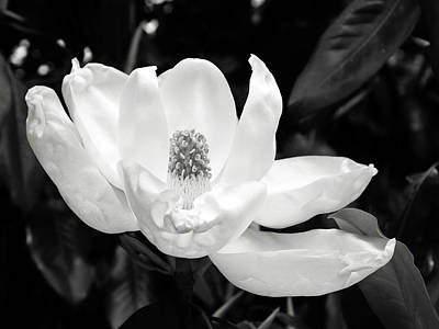 Magnolia Memories 3- By Linda Woods Art Print