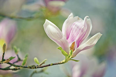 Closeup Photograph - Magnolia by Nailia Schwarz