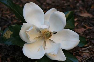 Magnolia Art Print by Ofelia  Arreola