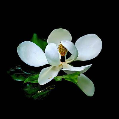 Photograph - Magnolia On Black Square by Carolyn Derstine