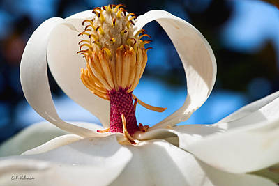 Photograph - Magnolia Passing by Christopher Holmes