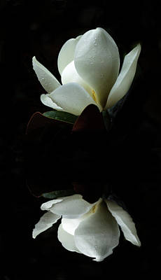 Photograph - Magnolia Reflection by Erwin Spinner