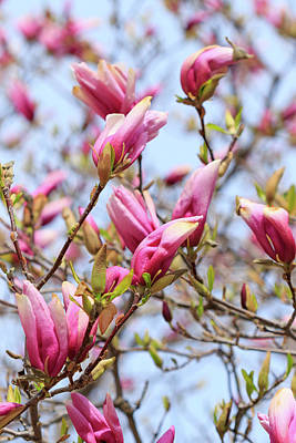Photograph - Magnolia by Rodger Werner