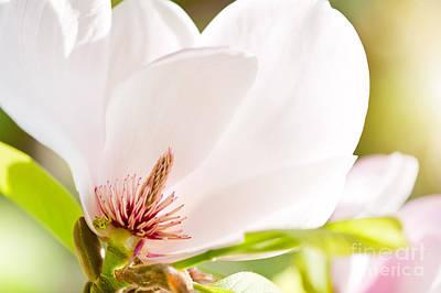 Magnolia Sepal Flowering Macro Art Print by Arletta Cwalina