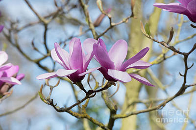 Photograph - Magnolia Serene Flowers by Tim Gainey