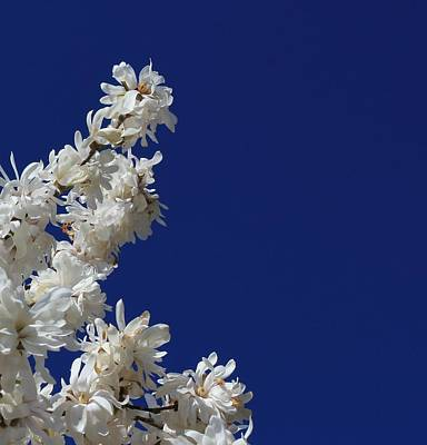 Photograph - Magnolia Sky by Classically Printed