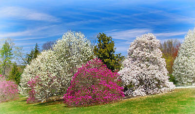 Photograph - Magnolia Slope At Morris Arboretum by Carolyn Derstine