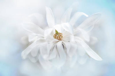 Magnolia Stellata Art Print