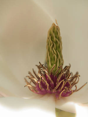 Photograph - Magnolia by Stewart Helberg