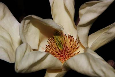 Photograph - Magnolia Stigmas And Petals by Karen Silvestri