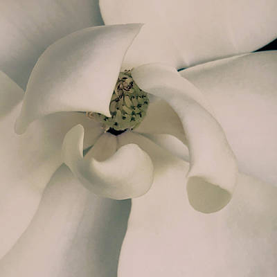 Photograph - Magnolia by Sue McGlothlin