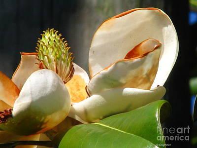 Magnolia Sunburn Art Print by Greg Patzer