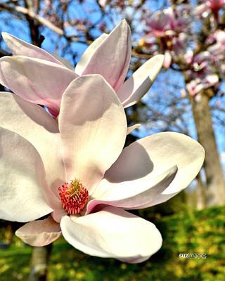 Photograph - Magnolia by Susie Loechler