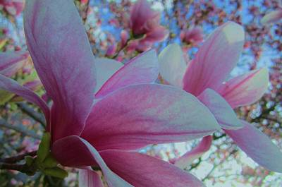 Photograph - Magnolia Time by Sharon Ackley