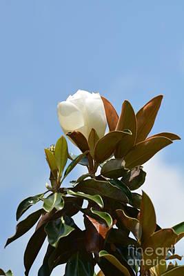 Photograph - Magnolia Topper by Maria Urso