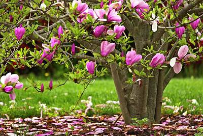 Photograph - Magnolia Tree by Karol Livote