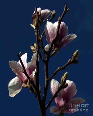 Photograph - Magnolia Tree by Stephen Melia