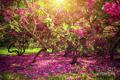 Photograph - Magnolia Trees And Flowers In Park, Sun Shining, Romantic Mood. by Michal Bednarek