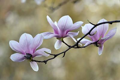 Photograph - Magnolia Trio by Ann Bridges