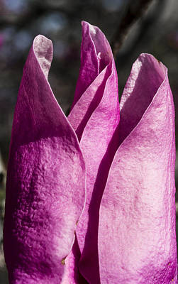 Photograph - Magnolia - Uw Arboretum - Madison - Wisconsin by Steven Ralser