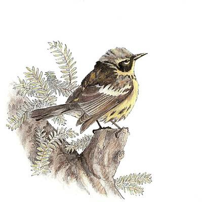 Drawing - Magnolia Warbler by Abby McBride