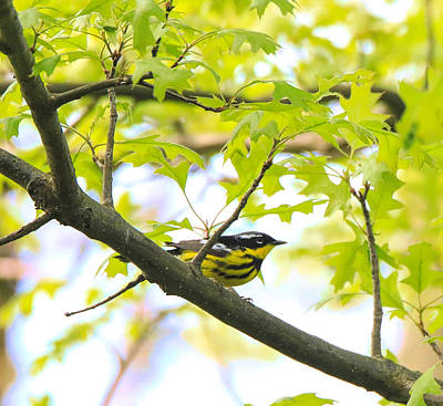 Photograph - Magnolia Warbler by Dan Sproul