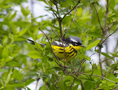 Sports Royalty-Free and Rights-Managed Images - Magnolia Warbler by David Tennis