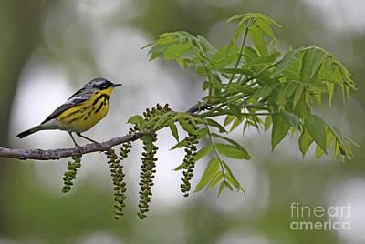 Photograph - Magnolia Warbler by Elizabeth Winter