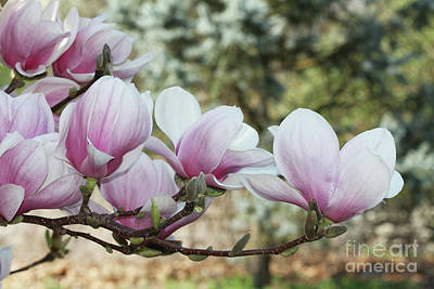 Photograph - Magnolias #3 by Judy Whitton
