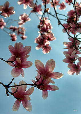 Photograph - Magnolias by Dana Sohr